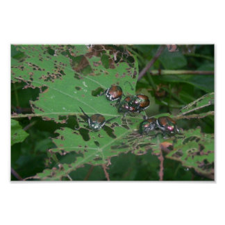 Beetles Eating Leaves Of Wild Grapes Poster