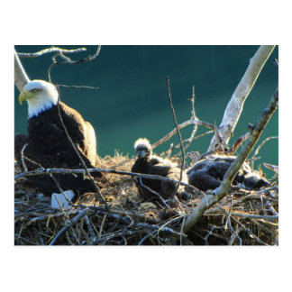 BEF Bald Eagle Family Post Cards