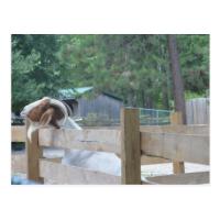 begging goat postcards