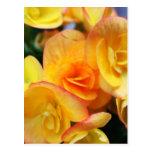 Begonia amarilla postal