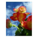 Begonia Flowers Postcard