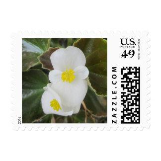 Begonia Garden Flower White Stamps