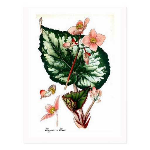 Begonia Rex Postcard