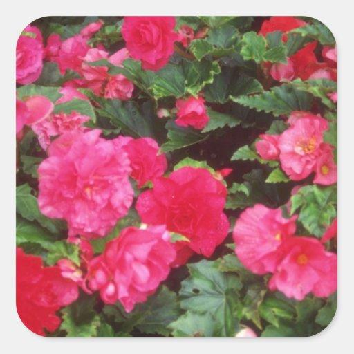 Begonias rosadas y rojas rojas, Victoria, Colum Pegatina Cuadrada