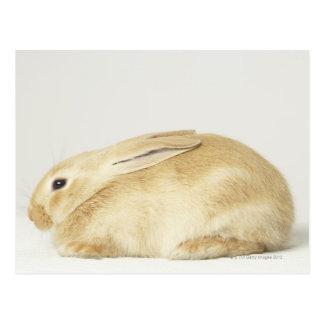 Beige bunny rabbit on white background 4 postcard
