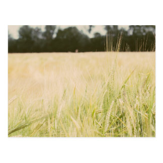 Beige Wheat Field Closeup, Nature Photograph Postcard