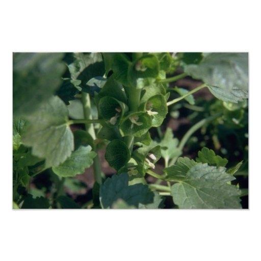 Belces verdes de las flores de Irlanda (Moluccella Póster
