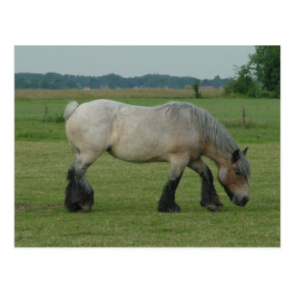 Belgian Draft Horse-color grey grazing Postcard