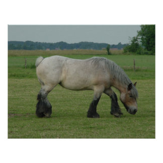 Belgian Draft Horse-color grey grazing Poster