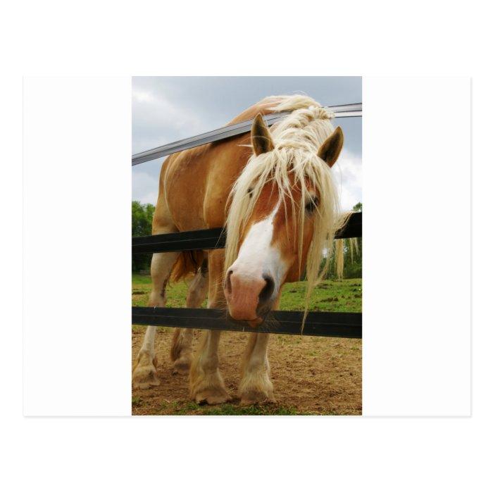 Belgian Draft Horse, Got Carrots? Postcard