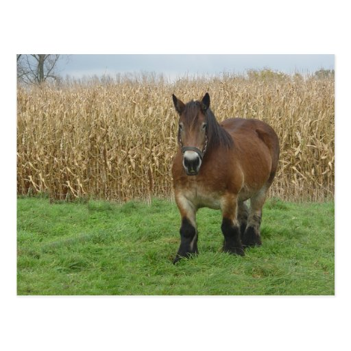 Belgian Draft Horse-in front of a corn field Post Card