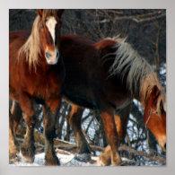 Belgian Draft Horse Photo Print