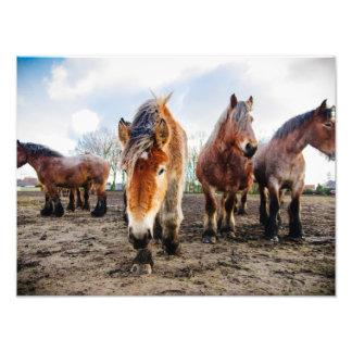 Belgian Draft Horses Closeup Shot Photograph