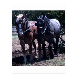 Belgian Draft Horses Postcard