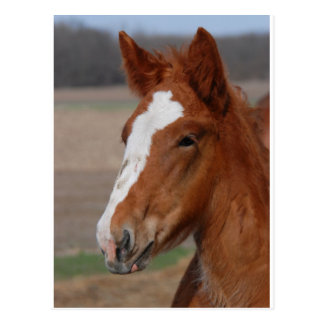 Belgian filly post cards
