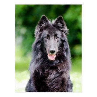 Belgian Groenendael dog, Belgian Shepherd photo Postcard