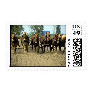 Belgian horses plowing, six-up, Red Top Farm, Cali Stamp