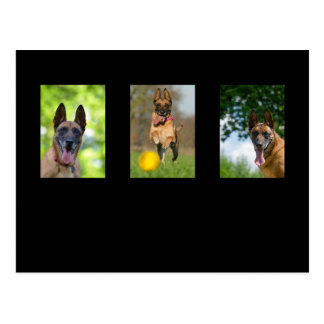 Belgian Malinois dog lovers photo postcard