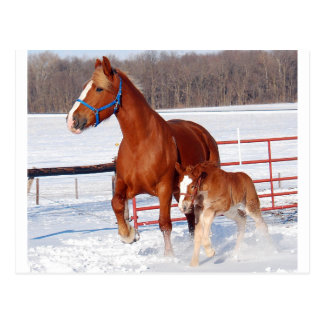 Belgian Mare and Filly Postcards