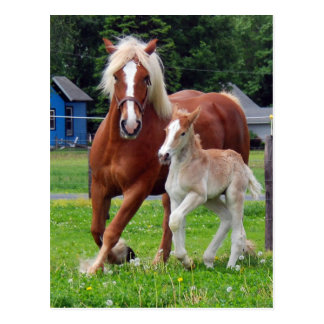 belgian Mare and Filly Postcard
