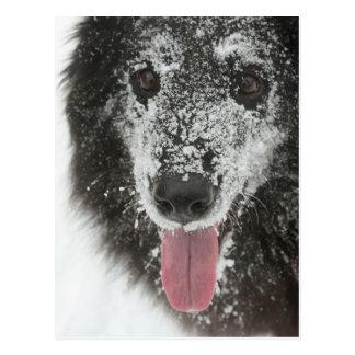 Belgian Shepherd Dog (Groenendael) in snow.png Postcard