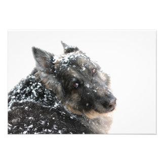Belgian Shepherd in Snow Announcements