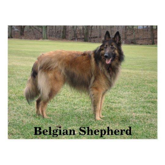Belgian Shepherd Postcard