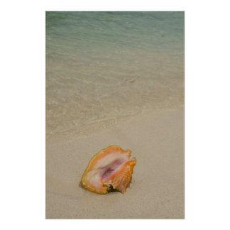 Belize, Caribbean Sea, Glover's Reef. Conch Poster