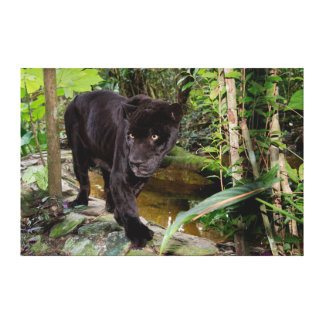 Belize City Zoo. Black panther Stretched Canvas Prints