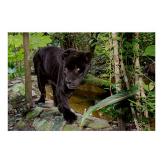 Belize City Zoo. Black panther Poster