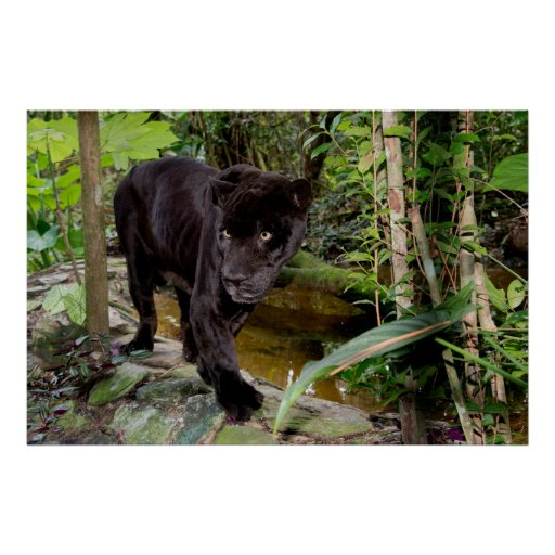 Belize City Zoo. Black panther Posters