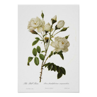 Bell rose by Pierre-Joseph Redoute Posters