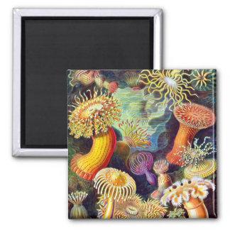 Bella arte de Ernst Haeckel de las anémonas de mar Imán Cuadrado