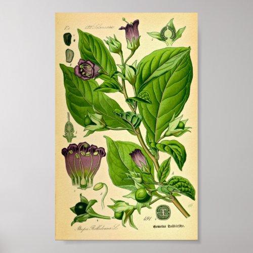 Belladonna  Deadly Nightshade Atropa belladonna Poster
