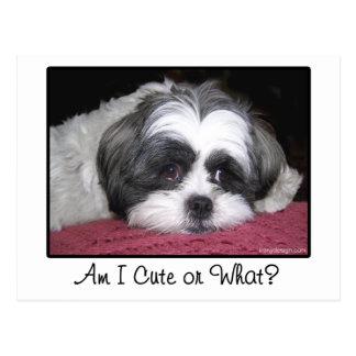 Belle The Shih Tzu Dog Postcard