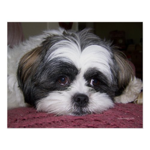 buying shih tzu puppy buy dog posters and art prints shih tzu puppy posters 7143