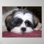 Belle The Shih Tzu Dog Poster