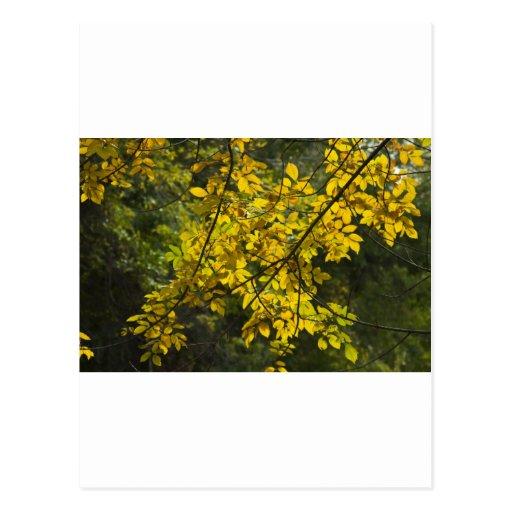 Belleza amarilla II Postal