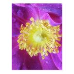 Belleza color de rosa púrpura Sultane del La Postal