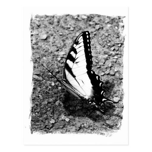Belleza de la mariposa - insecto de B&W Tarjetas Postales