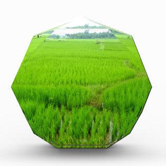 Belleza del campo de arroz verde