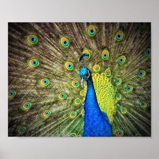 Belleza del color del pavo real póster
