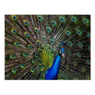 Belleza del pavo real postal