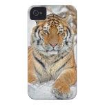 Belleza del tigre en nieve iPhone 4 Case-Mate carcasas