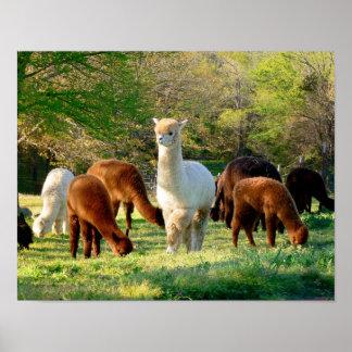 Belleza del trineo del poster de la alpaca