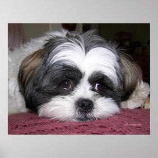 Belleza el perro de Shih Tzu Poster