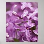 Belleza en la naturaleza - lila púrpura posters