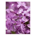 Belleza en la naturaleza - lila púrpura tarjeta postal