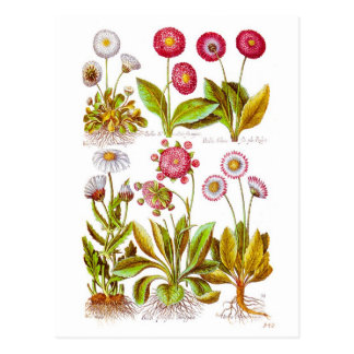 Bellezas en rosa tarjetas postales