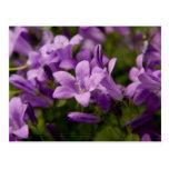 Bellflowers dálmatas púrpuras postal